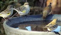 Birds-Bathing-by-bobistraveling.jpg