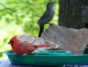Cardinal-and-Catbird-by-Cindy-Sue-Causey.jpg