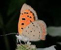 American-Small-Copper-butterfly-by-John-Brandauer.jpg