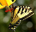 Tiger-Swallowtail-butterfly-by-bwmaddog21.jpg