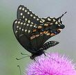 Black-Swallowtail-butterfly-by-Texas-Eagle.jpg