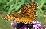 Variegated-Fritillary-butterfly-by-auntie-pauline.jpg