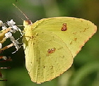Cloudless-Sulphur-butterfly-by-Wade-Franklin.jpg