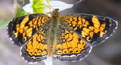 Pearl-Crescent-butterfly-by-mihradio.jpg