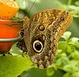 Buckeye-butterfly-by-hubert-k.jpg