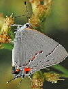 Gray-Hairstreak-butterfly-by-jerry-oldenttel.jpg