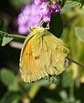 Sleepy-Orange-butterfly-by-Lance-and-Erin.jpg