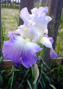 Reblooming-Iris--Clarence--by-Kay-Schlumpf.jpg