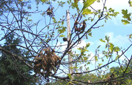 Stressed-Oak-Tree by Midwest Gardening.jpg