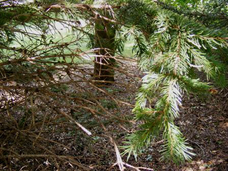 Drought-stressed-evergreen-tree by Midwest Gardening.jpg