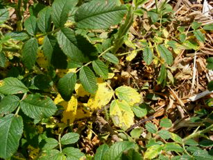 Yellow-leaves-on-rose-shrub by Midwest Gardening.jpg
