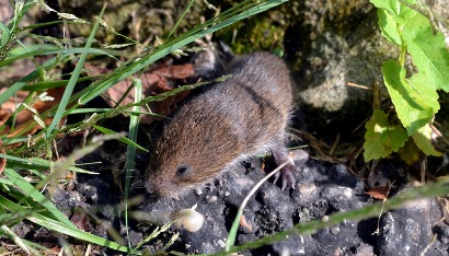 Vole by Mike.jpg