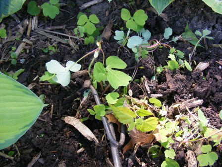 Tiny-weeds--seedlings-and-sprouts-are-uprooted-with-a-hand-fork by Midwest Gardening.jpg