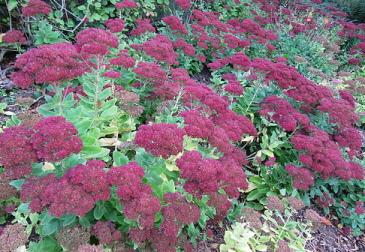 Sedum--Autumn-Joy--blooms-by-Leonora-Enking.jpg