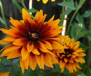 Rudbecia-Cherokee-Sunset--by-Faith.jpg