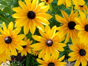 Rudbeckia-hirta-Indian-Summer-by-Robert-Couse-Baker.jpg