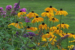 Rudbeckia--Indian-Summer.jpg