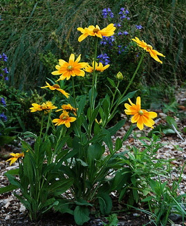 Rudbeckia-hirta-Prarie-Sun-by-Rachel-James.jpg