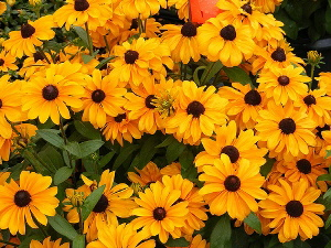 Rudbeckia-hirta-Tiger-Eye-by-green-thumbs.jpg