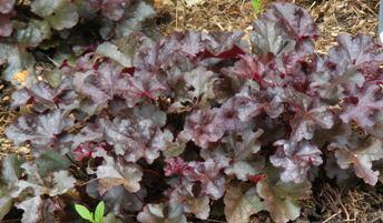 Heuchera-Dolce-Licorice-by-Midwest Gardening.jpg
