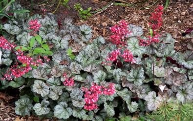 Heuchera-Dolce-Mocha-Mint-by-Midwest Gardening.jpg