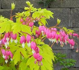 Dicentra-Gold-Heart-blooms-by-Julie-Weisenhorn.jpg