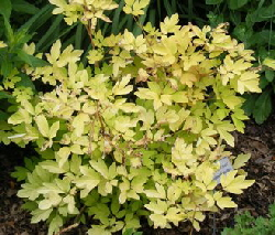 Dicentra-Gold-Heart-by-Midwest Gardening.jpg