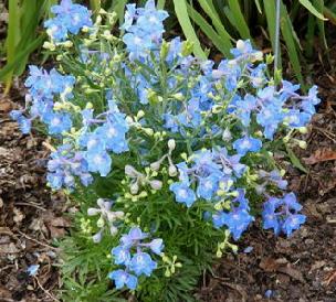 Delphinium-grandiflorum--Summer-Blues--by Midwest Gardening.jpg
