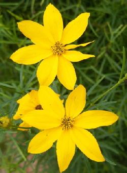 Coreopsis-verticillata-Zagreb-Threadleaf-by-the-ordinary-gardener.jpg
