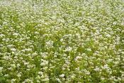 Cover-Crop-Buckwheat.jpg
