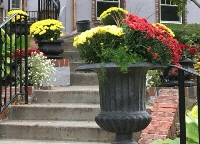 Classic--mums-by-Midwest Gardening.jpg