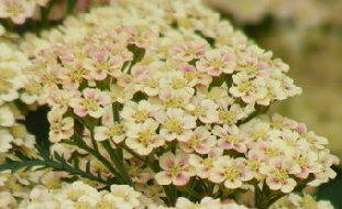 Achillea-Peachy-Seduction-flowers-by-Midwest Gardening.jpg