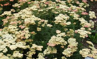 Achillea-Peachy-Seduction-by-Midwest Gardening.jpg
