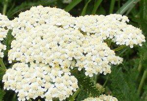 Achellea-millefolium--Summer-Pastels--Yarrow-blooms-by-Midwest Gardening.jpg