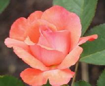 Artistry-Hybrid-Tea-Rose-bloom-by-Midwest Gardening.jpg