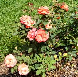Artistry-Hybrid-Tea-Rose-by-Midwest Gardening.jpg