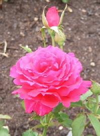Forgotten-Dreams-Hybrid-Tea-rose-bloom-and-bud-Midwest Gardening.jpg