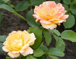 Glowing-Peace-Hybrid-Tea-Rose--2--by-Midwest Gardening.jpg