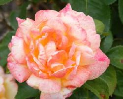 Glowing-Peace-Hybrid-Tea-Rose-by-Midwest Gardening.jpg