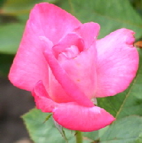 Marijke-Koopman-Hybrid-Tea-Rose-bud-by-Midwest Gardening.jpg