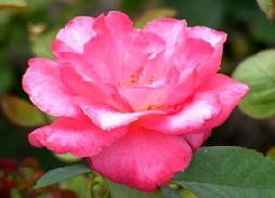 Marijke-Koopman-Hybrid-Tea-Rose-bloom-by-Midwest Gardening.jpg