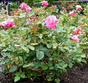 Marijke-Koopman-Hybrid-Tea-Rose-shrub-by-Midwest Gardening.jpg