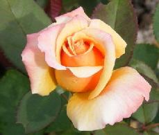 Tahitian-Sunset-Hybrid-Tea-Rose-bud-by Midwest Gardening.jpg