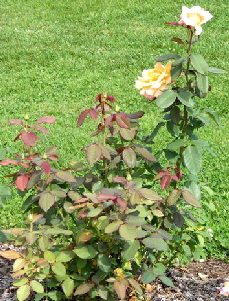 Tahitian-Sunset-Hybrid-Tea-Rose-bush-by-Midwest Gardening.jpg