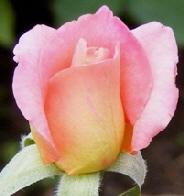 Tiffany-Hybrid-Tea-Rose-bud-by-Midwest Gardening.jpg