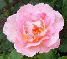 Tiffany-Hybrid-Tea-Rose-blooms-by-Midwest Gardening.jpg