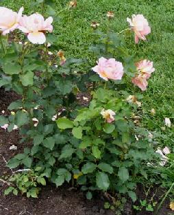 Tiffany-Hybrid-Tea-Rose-shrub-by-Midwest Gardening.jpg