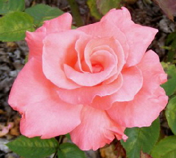 Touch-of-Class-Hybrid-Tea-Rose-by-Midwest Gardening.jpg