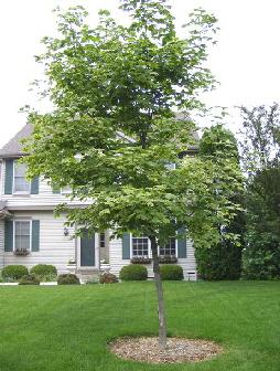 Acer-platanoides--Variegatum---Variegated-Maple by Midwest Gardening.jpg