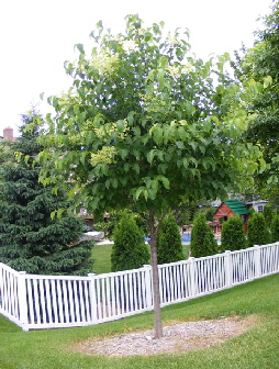 Syringa-reticulate--Japanese-Lilac-Tree by Midwest Gardening.jpg